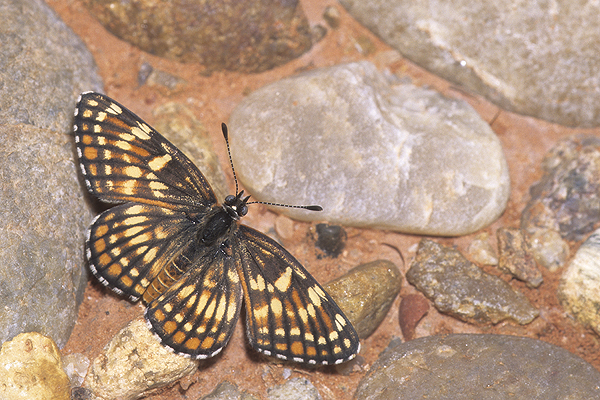 Fulvia Checkerspot