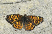 Sagebrush Checkerspot